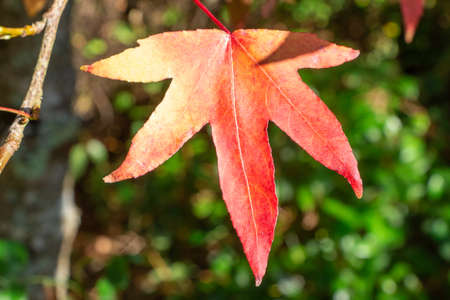 Maple leaves in a garden during autumn