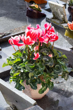 Cyclamen plant on a tombstone for All Saints Day