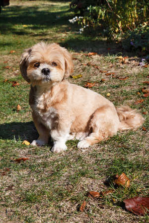 Lhasa Apso dog sitting between dead leaves in a garden during autumn