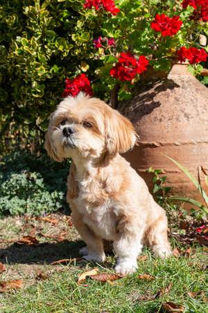 Lhasa Apso dog sitting in a garden 版權商用圖片
