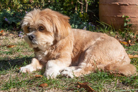Lhasa Apso dog lying down in a garden during autumn