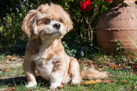 Lhasa Apso dog sitting in a garden between dead leaves