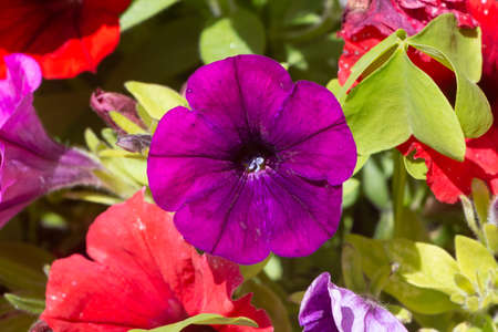 Purple and red petunia flowers in a garden during summer Standard-Bild