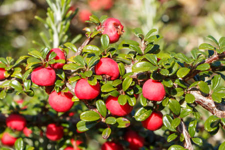 Close-up on berries of cotoneaster in a garden Standard-Bild