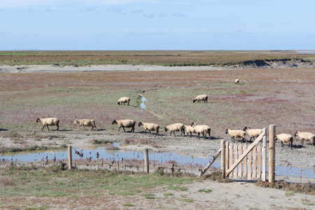 Sheep of salted field near Mont Saint-Michel