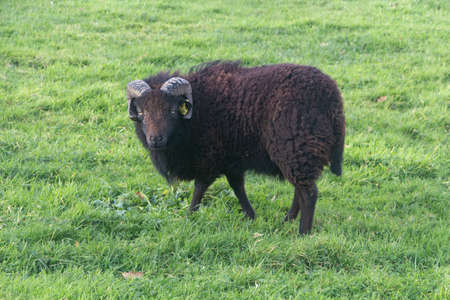 Black Ouessant sheep in a field in Brittany Standard-Bild