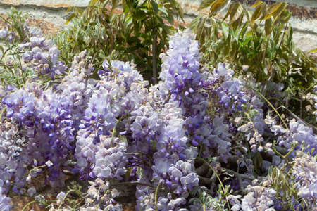 Flowers of purple Wisteria in a garden during spring
