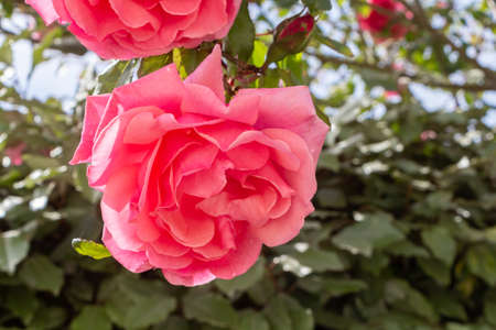 Pink rose in a garden during spring