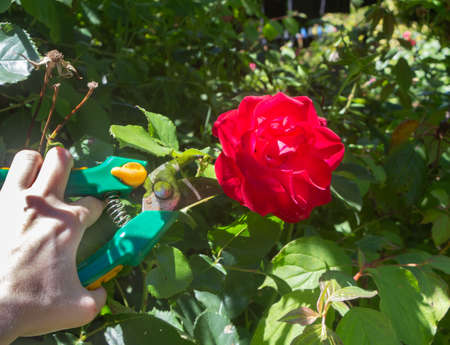 To cut a rose with clippers in a garden Standard-Bild