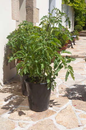 Tomatoes growing in a flower pot in a garden
