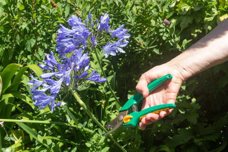 To cut an agapanthus flower in a garden during summer