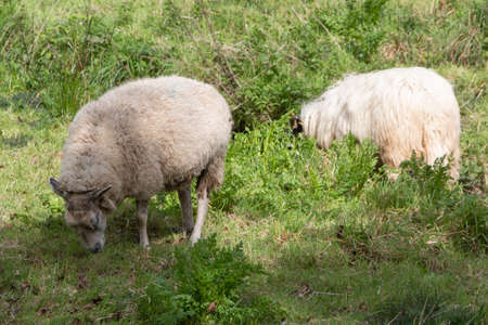 Sheep grazing in a field in Brittany