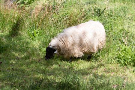 Scottish blackface sheep grazing in a field