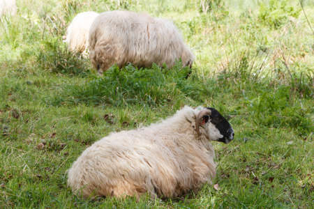 Scottish blackface sheep grazing and lying in a field in Brittany