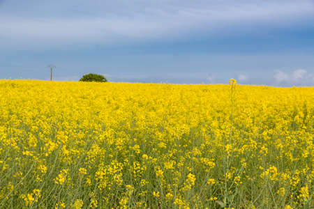 Field of canola with yellow flowers in Brittany during spring Stock fotó