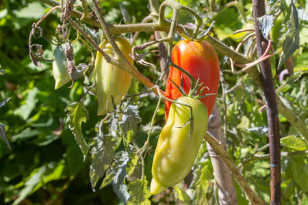Tomatoes growing in a vegetable garden Stock fotó