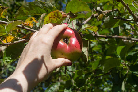 Pick an apple on an apple tree in an orchard Stock fotó