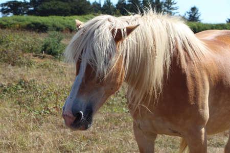 Haflinger pony in a field in Brittany Stock fotó