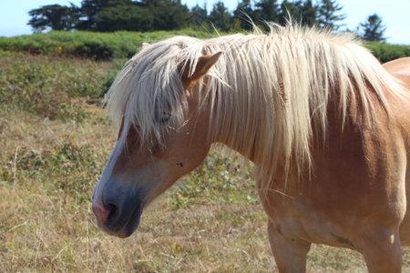 Head of an Haflinger pony in a field