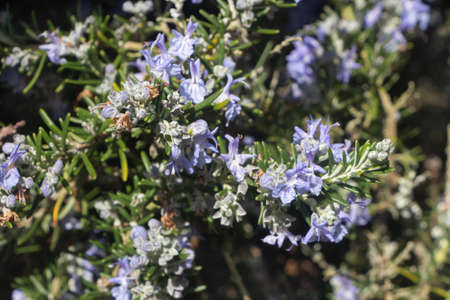 Rosemary plant in a garden during winter