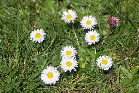 White flowers of daisy in a garden during winter
