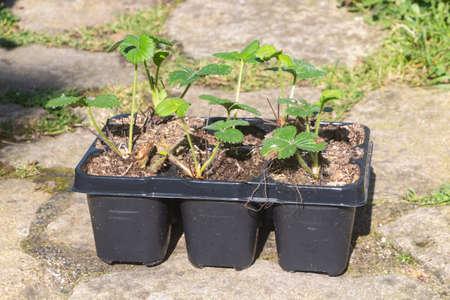 Little strawberries plant in flowerpots before planting in a vegetable garden Stock fotó