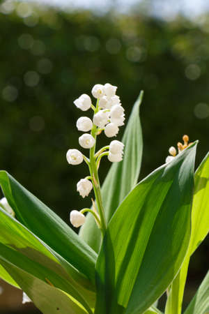 Lily of the valley flowers in a garden during spring