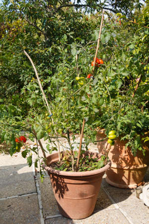 Cherry tomatoes ripening in a garden during summer