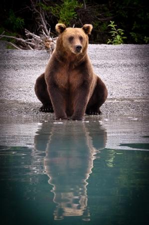 grizzly: Graisse d'ours Banque d'images