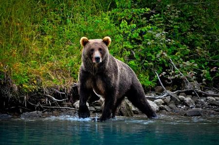 oso pardo: Tenga Foto de archivo
