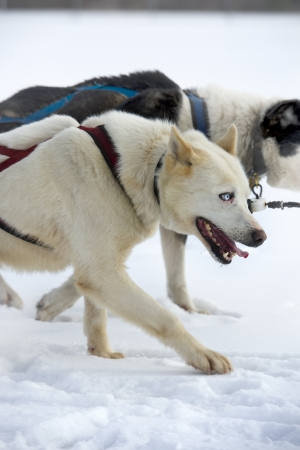 Dog sledding in northern Ontario  photo