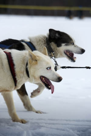 Dog sledding competition photo