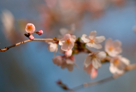 trees photography: Cherry Blossom