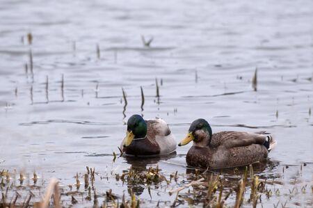 Colorful ducks photo