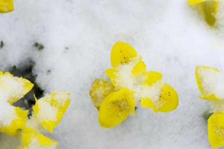 Early Spring Crocus in Snow series photo