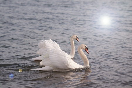 swans: swans swimming
