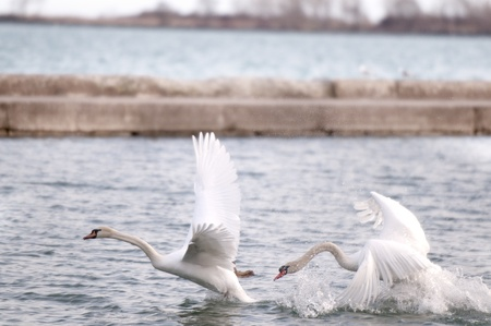 SWANS TAKE FLIGHT photo