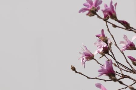 Magnolia Spring Flowers Imagens - 19188484