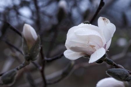 Magnolia Spring Flowers Imagens