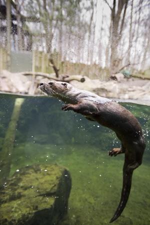 visone: Mink nuoto