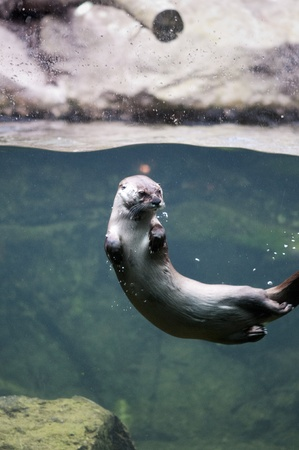 mink: Mink swimming