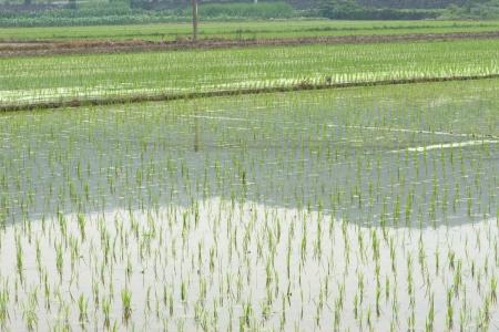 Le planteur de riz Banque d'images - 21668414