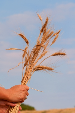 Female hand holding stalks of wheat   photo