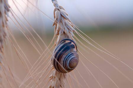 Beetle and grain - Stock Image