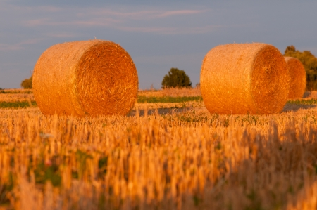 Golden wheat stalks   photo