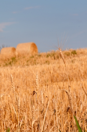 Field of gold - Stock Image photo