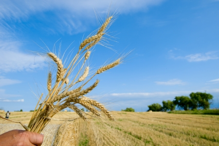 Ripe Summer Wheat - Stock Image photo
