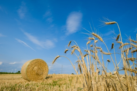 Ripe Summer Wheat - Stock Image