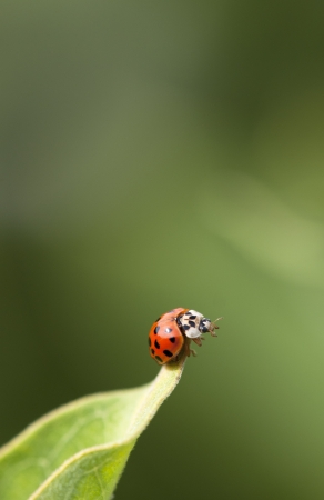 Red Ladybird on a grass photo