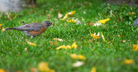American goldfinch under vine maple tree photo